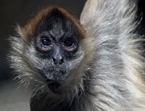 Spider Monkey. A spider monkey looking at the viewer royalty free stock image