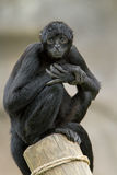 Spider Monkey. Colombian black spider monkey (Ateles fusciceps robustus) sits on post stock image