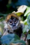 Spider Monkey. A spider monkey amongst the bushes stock image