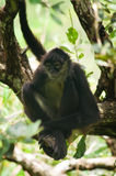Spider Monkey. A Spider Monkey Perched in a Tree royalty free stock photography