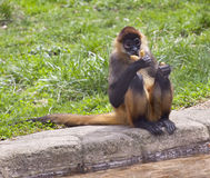 Spider monkey Royalty Free Stock Images