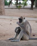 Spider monkey. Sitting spider monkey eating fresh fruit Royalty Free Stock Photo