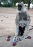 Spider monkey. Sitting spider monkey eating fresh fruit Royalty Free Stock Images