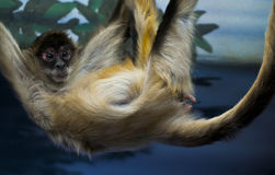 Spider monkey Royalty Free Stock Photography