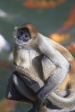 Spider Monkey. A spider monkey in a zoo sitting on a log stock images