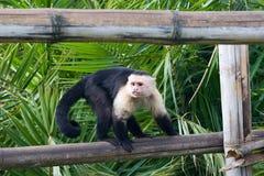 Free Spider Monkey Stock Images - 4143954