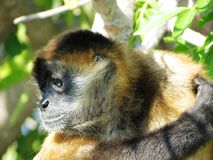 Free Spider Monkey Royalty Free Stock Photography - 49889927