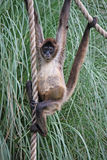 Spider Monkey. Athletic baby spider monkey hanging from ropes Royalty Free Stock Photo