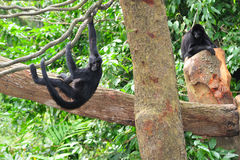 Spider monkey. The spider monkey is a small specie found in tropical forests in south America Stock Image