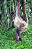 Spider Monkey. Athletic baby spider monkey hanging from ropes stock images