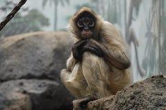 Free Spider Monkey Royalty Free Stock Photo - 94031915