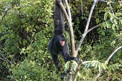Spider monkey Royalty Free Stock Image