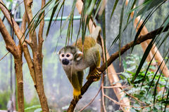 Spider monkey at afternoon Stock Images