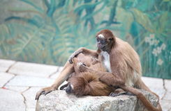 Spider monkey Stock Photo