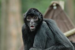 Spider monkey (Ateles fusciceps). Portrait of a black-headed spider monkey Stock Images