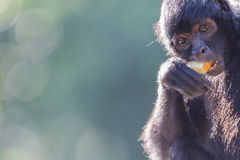 Spider monkey (Ateles fusciceps) Stock Photography
