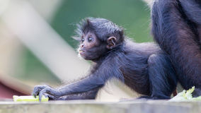 Spider monkey (Ateles fusciceps) Royalty Free Stock Photos