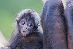 Spider monkey (Ateles fusciceps) Royalty Free Stock Image