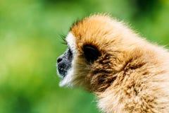Spider Monkey Royalty Free Stock Photos