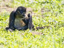 Spider Monkey, Ateles geoffroyi, exceptionally sitting on the ground. The Spider Monkey, Ateles geoffroyi, exceptionally sitting on the ground stock images