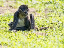 Spider Monkey, Ateles geoffroyi, exceptionally sitting on the ground. The Spider Monkey, Ateles geoffroyi, exceptionally sitting on the ground royalty free stock images