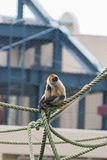 Spider monkey (Ateles geoffroyi) sit on a rope. royalty free stock image