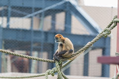 Spider monkey Ateles geoffroyi sit on a rope. Stock Photos