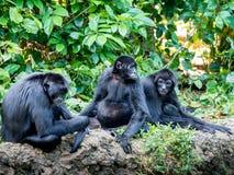 Spider Monkey Ateles Geoffroyi . Wildlife Animal. Royalty Free Stock Image