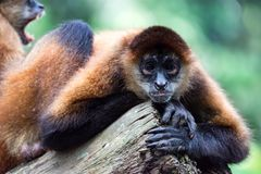Spider monkey Ateles Primate while observing and sitting on a tr stock image