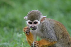 Spider monkey (Atles) Stock Photography