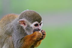 Spider monkey (Atles) Royalty Free Stock Photo