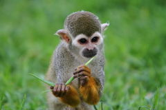 Spider monkey (Atles) Stock Photos