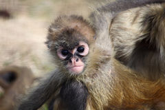 Spider monkey Royalty Free Stock Photo