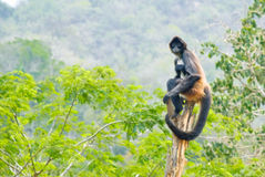 Spider monkey balanced on trunk Stock Photography