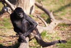 Spider Monkey. Black - handed Spider Monkey. Sort : Ateles geoffroyi. Horizontal position Stock Image