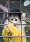 Spider Monkey In Captivity Royalty Free Stock Photography