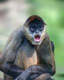 Spider monkey. Close up shot of spider monkey portrait Royalty Free Stock Image