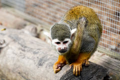 Spider Monkey Crouching stock photos