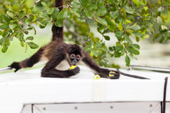 Spider Monkey Eating Royalty Free Stock Images