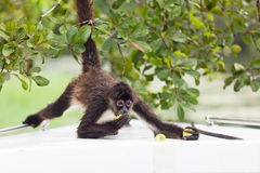 Spider Monkey Eating Guava Stock Photo