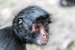 Spider Monkey Face Closeup Stock Photos