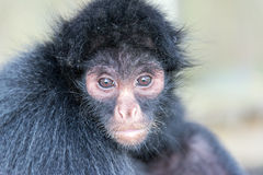 Spider Monkey Face Stock Photography
