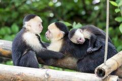 Spider monkey family Stock Images