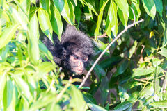 Spider Monkey and Foliage Stock Photo