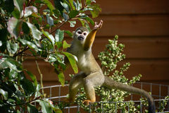 Spider Monkey Foraging Royalty Free Stock Photo
