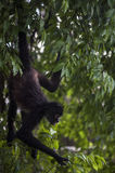 Spider Monkey looking for food Royalty Free Stock Photo