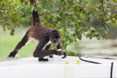 Spider Monkey with Fruit Stock Photos