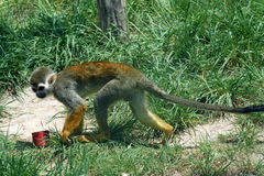 Spider monkey Stock Image