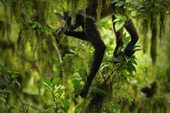 Spider monkey / Guatemala Stock Image