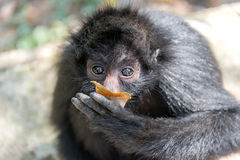 Spider Monkey and Leaf Royalty Free Stock Image